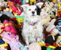 Chaser the Border collie sitting with some of her 1000+ toys